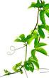 lianes de passiflore, Passiflora edulis, fruit de la passion