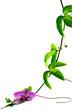 orchidée sur liane de Passiflora edulis, fruit de la passion