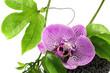 orchidée sur liane de Passiflora edulis