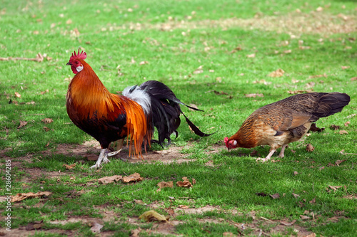 Cock with hen