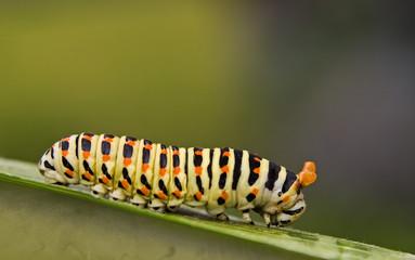 Yellow - red caterpillar