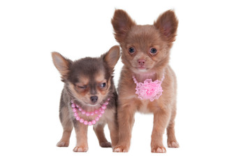 Two chihuahua puppies with beautiful pink beads