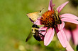 Crossline Skipper Butterfly Bumblebee Flower 'Magnus' Echinacea