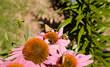 Crossline Skipper Butterfly Polites Origenes Pink Echinacea