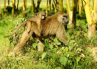 Mother & baby of Savanna Baboon