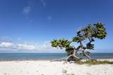 Palétuvier en bordure de plage, mer des Caraïbes poster