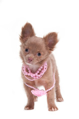 Romantic Inloved Puppy with pink beads on its neck
