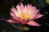 růžová wate lily