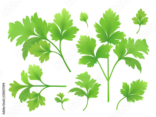 Branches and leaves of parsley