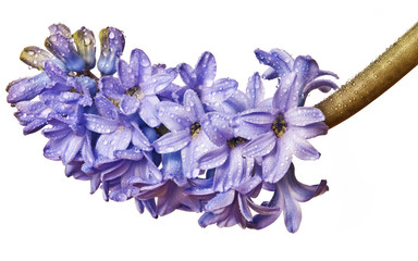 hyacinth with drops