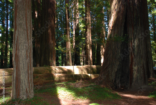 Sequoia im Humboldt Nationalpark