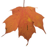 Scarred autumn leaf poster