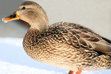 Mallard female standing with snow on her beak poster