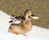 Mallard duck running with a piece of bread in her beak poster