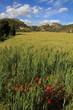 Cereal plantation,Gudar mountains, Teruel province ,Aragon Spain