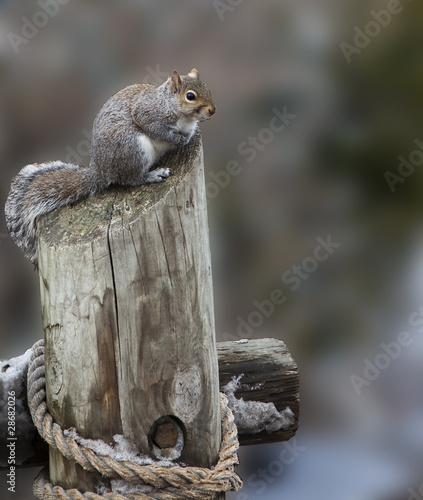 Ground Squirrel Perched atop a Chopped Tree Trunk