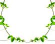 lianes de passiflore, Passiflora edulis, fruits de la passion