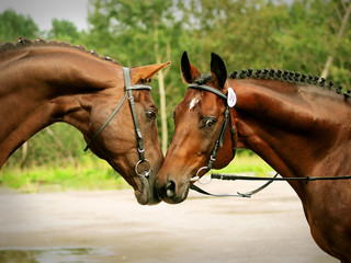 couple of trakehner stallions