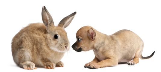 Chihuahua puppy playing with rabbit