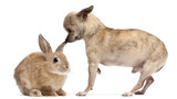 Chihuahua interacting with a rabbit in front of white background poster