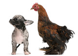 Chihuahua puppy interacting with a hen poster