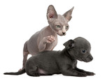 Chihuahua puppy, 10 weeks old, interacting with a Sphynx kitten poster