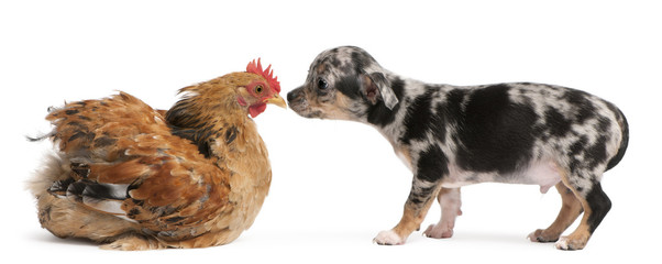 Chihuahua puppy interacting with a hen