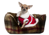 Chihuahua wearing Santa outfit sitting in doggie bed poster