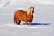cavallo nella neve in montagna - Dolomiti del Trentino