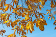 yellow leaves against blue sky