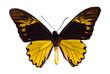 Troides amphyrysus. Birdwing swallowtail.