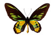 Green Birdwing Swallowtail. (Schoenbergia rothschild)