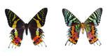 Sunset Moth, (Chrysiridia madagascariensis poster