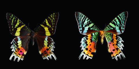 Sunset Moth, (Chrysiridia madagascariensis).