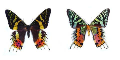 Sunset Moth, (Chrysiridia madagascariensis