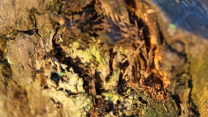 colony of red ants on tree, extremely close-up shot