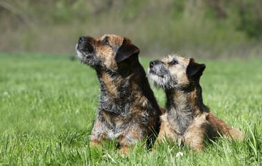 mimétisme des deux borders terriers
