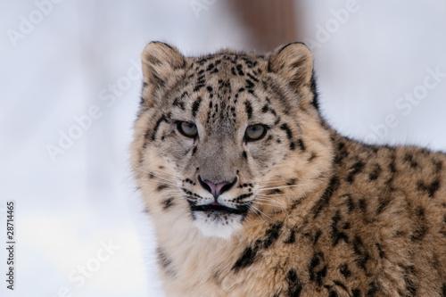 Papiers peints Leopard Portrait Schneeleopard