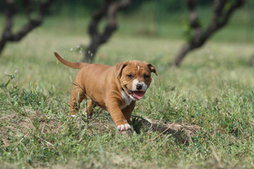 puppy american staffordshire terrier walking