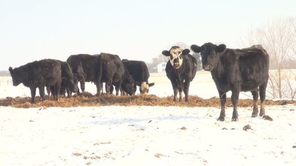 Cattle grazing in snow covered pasture