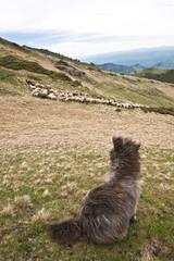 guard sheep