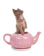 Chihuahua puppy in pink teapot