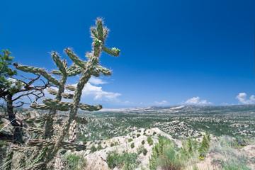 Bajada Cylindropuntia Imbricata Cane Cholla, Aluvial Fans NM USA
