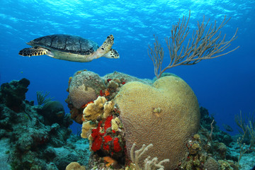 Hawksbill Turtle and Brain Coral - Cozumel, Mexico