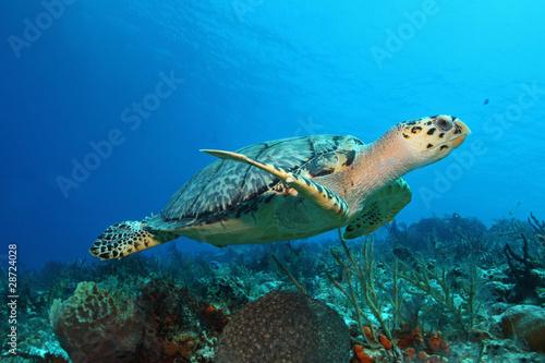 Fotobehang Schildpad Hawksbill Turtle (Eretmochelys imbricata) - Cozumel, Mexico
