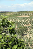 Olive trees from Sta Lucia viewpoint, Ubeda, Andalusia, Spain poster