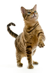 Bengal cat clawing at the air