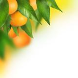 Fototapeta cytrusowych - gałąź - Owoc