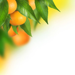 Ripe Tangerines growing. Border design