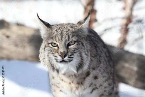 Staande foto Lynx Bobcat (Lynx rufus)